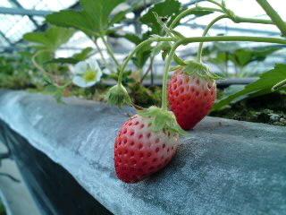エリックさんとこの苺が実ってきました。(食べ歩き/扶桑町)