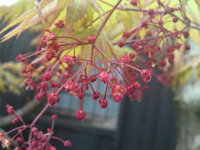 紅葉の花?(お庭)