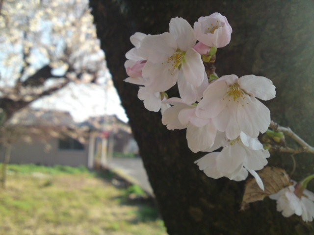桜、さくら、サクラ…